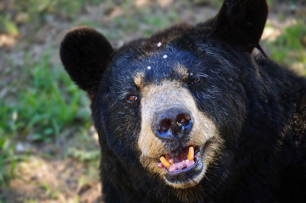The face of the american black bear