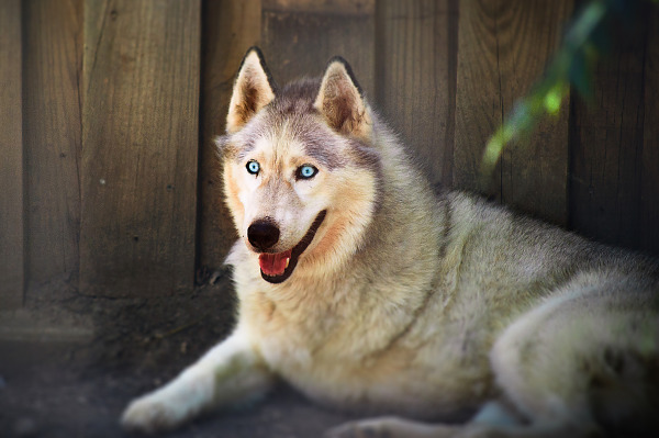 White wolf with amputated leg