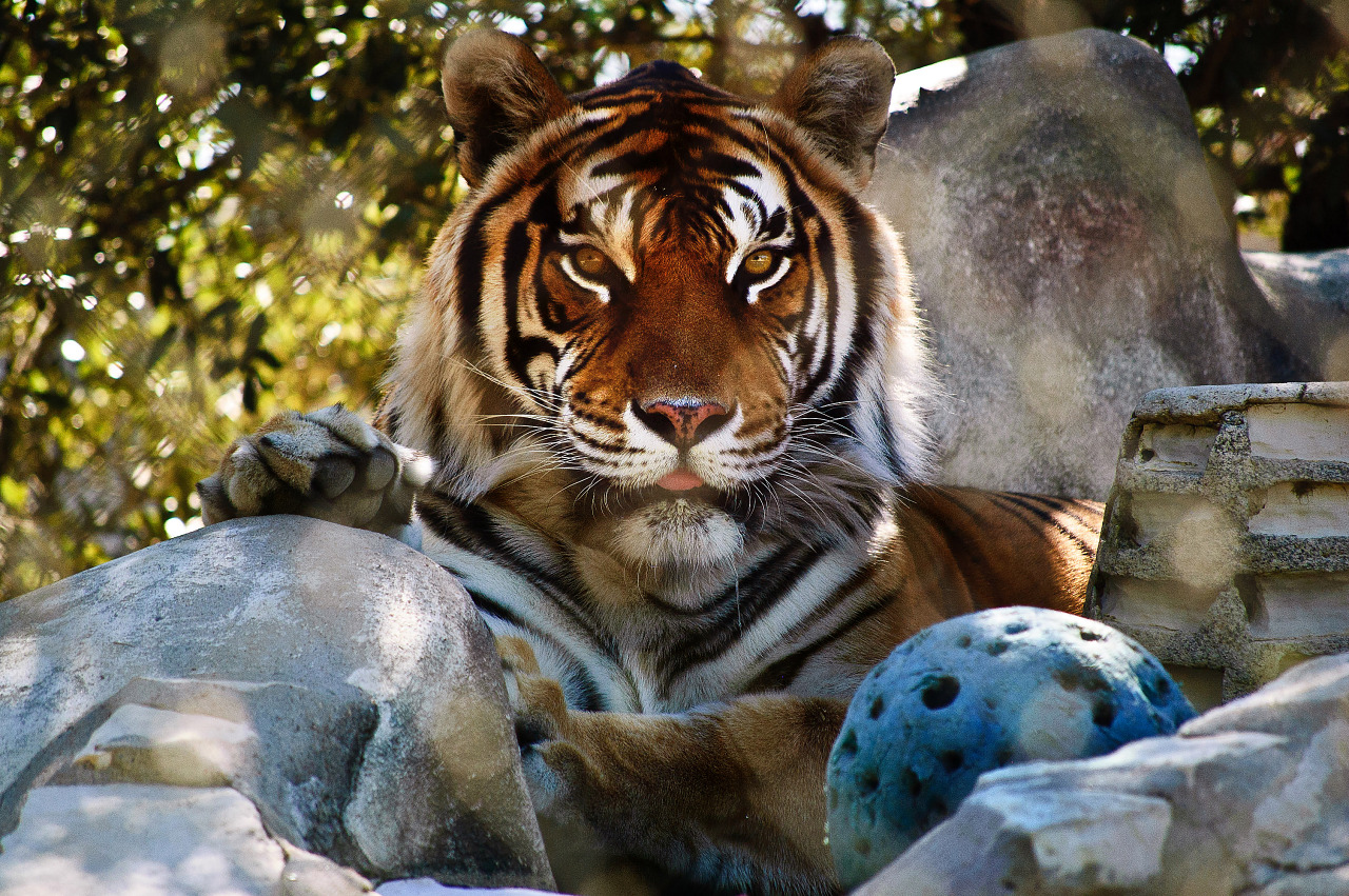 Bengal tiger playing with ball in Austin, Texas