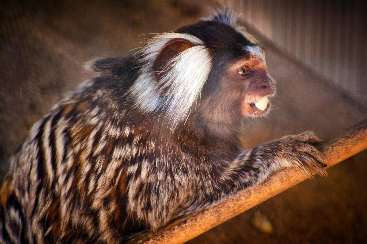 Portrait of the common marmoset in Austin Zoo
