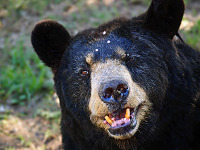 austin-zoo > The face of the american black bear