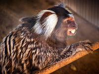 austin-zoo > Portrait of the common marmoset in Austin Zoo
