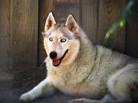 austin-zoo > White wolf with amputated leg