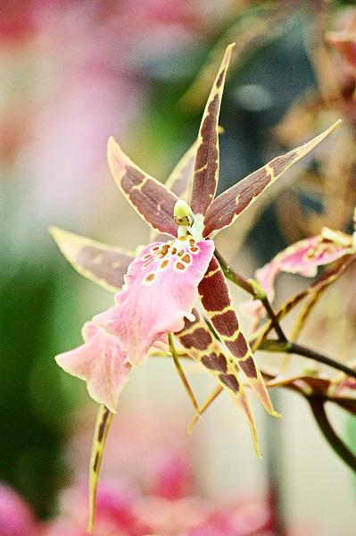 bird like pink orchid akatsuka greenhouse