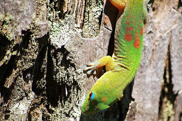 Hawaiian gecko close up