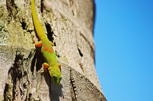 Gecko descending from the blue hawaiian sky