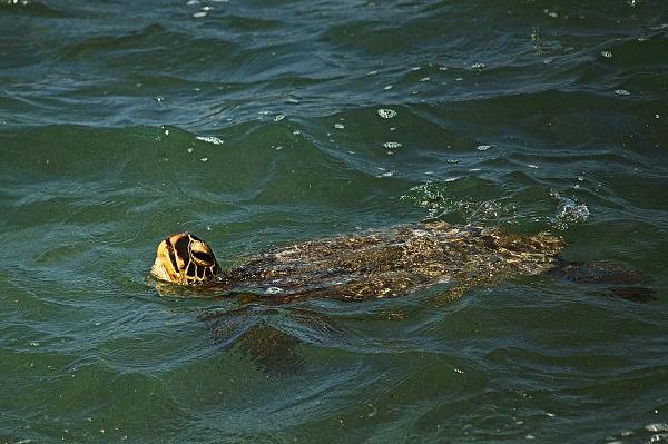 Honu hawaiian green turtle swimming in ocean