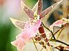 big-island-hawaii > bird like pink orchid akatsuka greenhouse