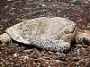 big-island-hawaii > hawaiian beach turtle resting full body honu waikoloa