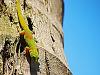 big-island-hawaii > Gecko descending from the blue hawaiian sky