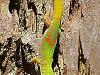 big-island-hawaii > Gold dust day gecko