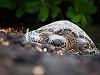 big-island-hawaii > honu beach turtle waikoloa low