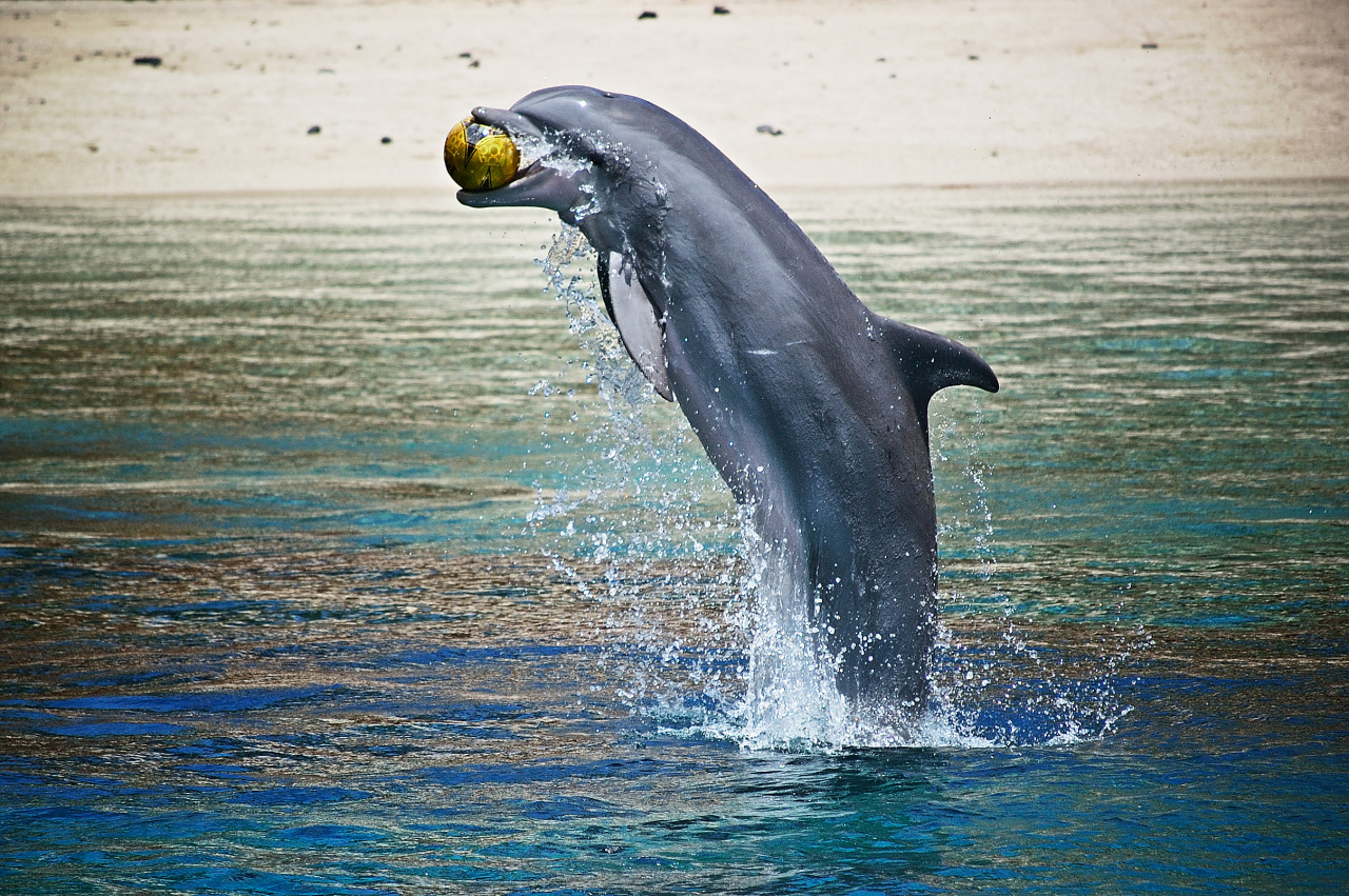 A dolphin jumps out of the water to catch a ball