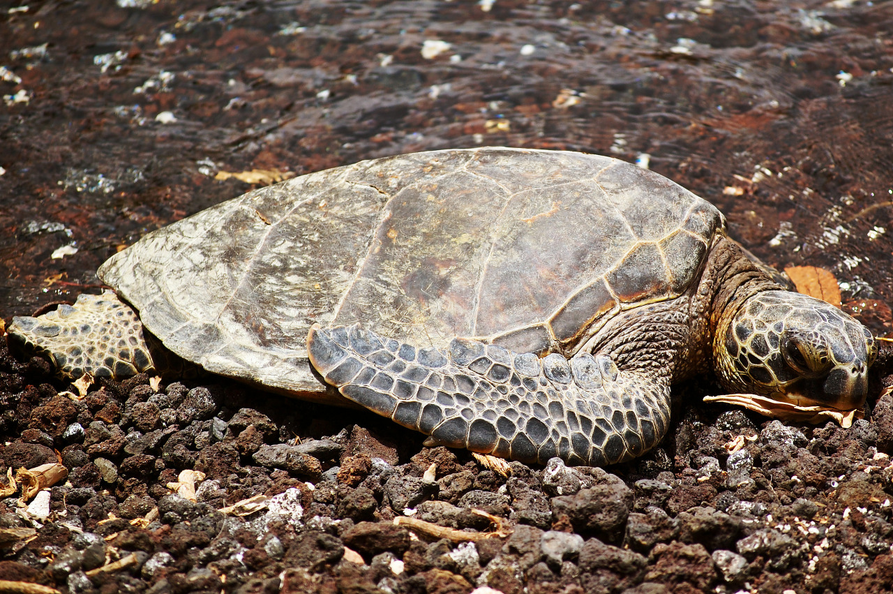 hawaiian beach turtle resting full body honu waikoloa
