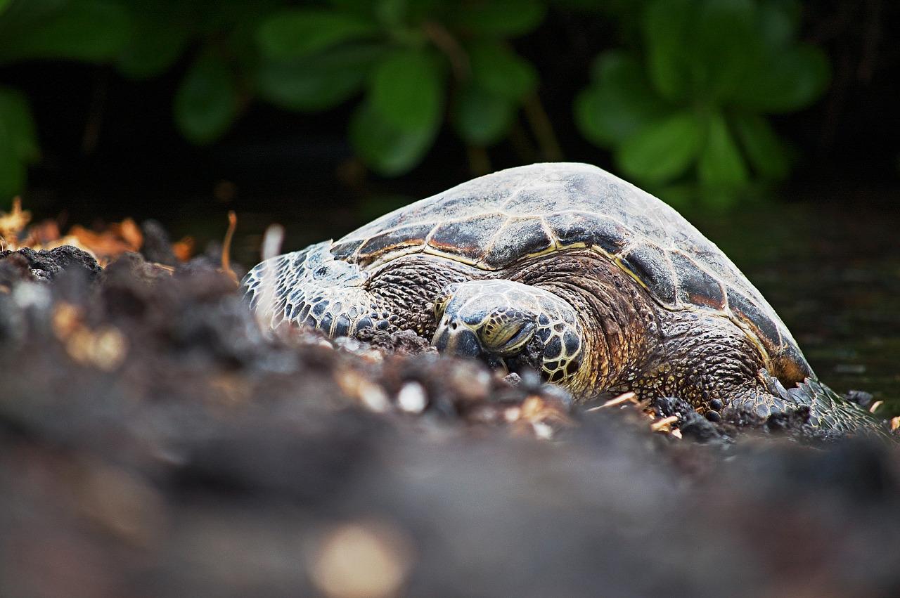 honu beach turtle waikoloa low