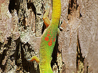 big-island-hawaii > Gold dust day gecko