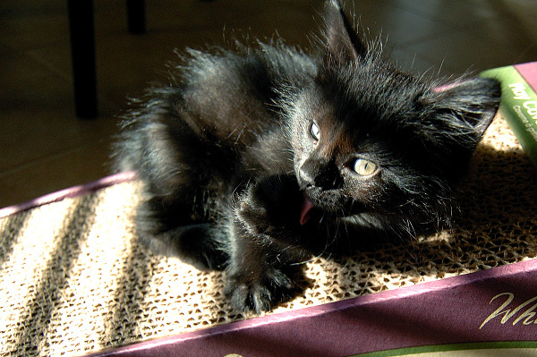 black-cute-cat  > Devil cat - kitten licking itself