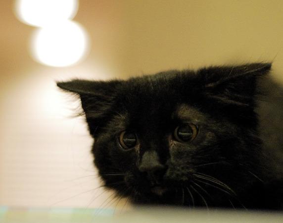 black-cute-cat  > Kitten flattenning its head