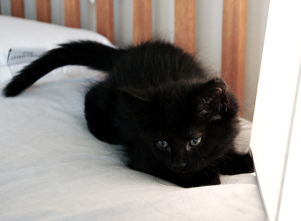 Black kitten playing on the bed