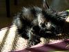 black-cute-cat > Devil cat - kitten licking itself