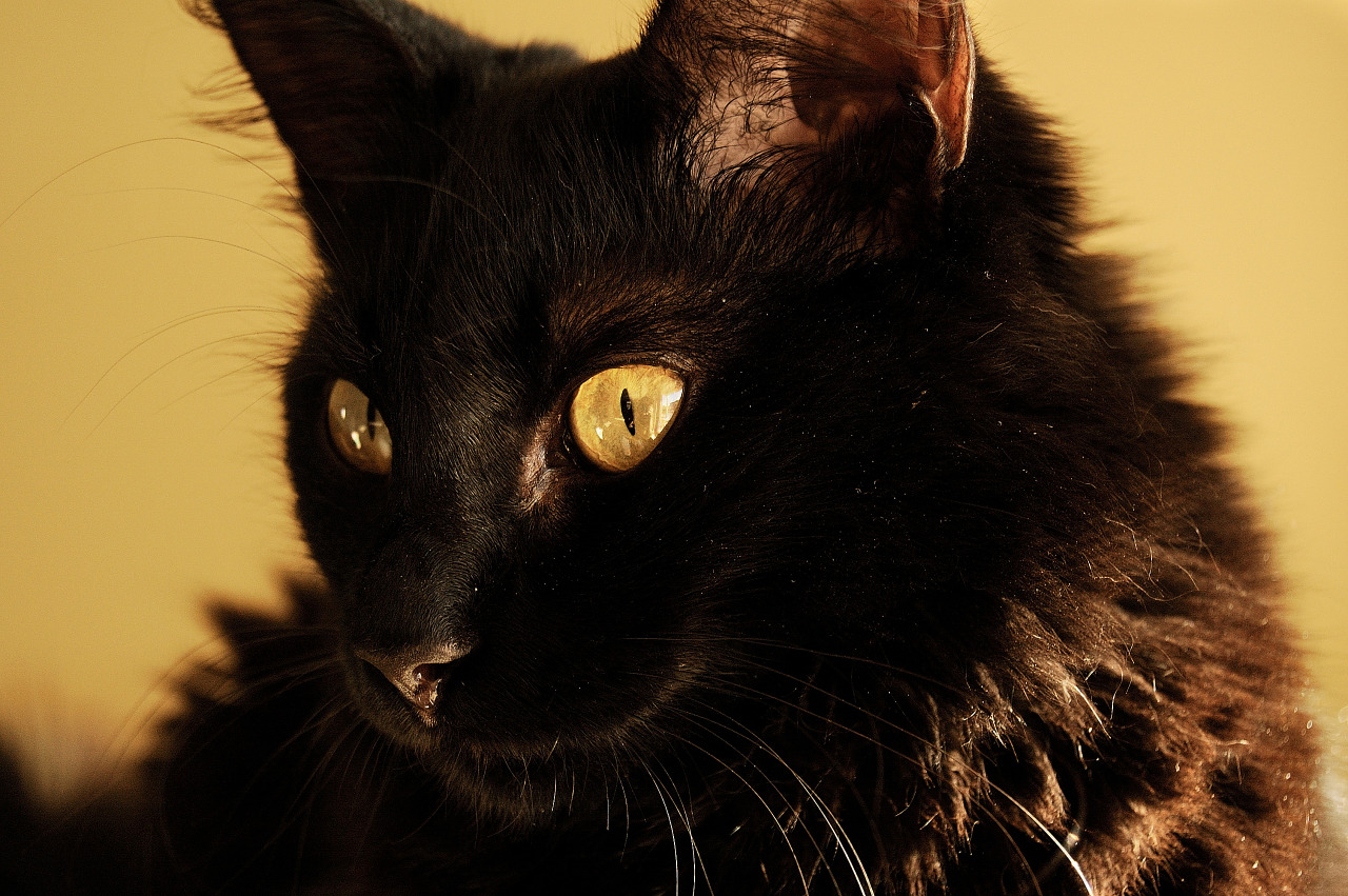 Cat face with yellow eyes