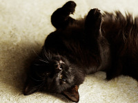 black-cute-cat > Cat rolling on its back