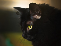 black-cute-cat > Profile of our cat with yellow eye