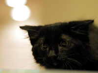 black-cute-cat > Kitten flattenning its head