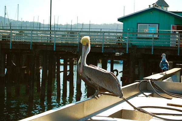 carmel-monterey  > Pelican resting in Monterey