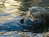 carmel-monterey > Single otter swimming on its back