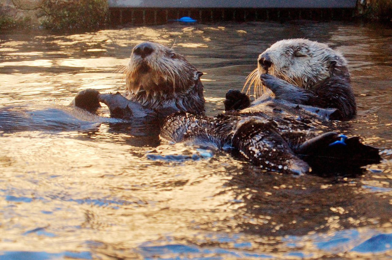 Otters chatting in Monterey