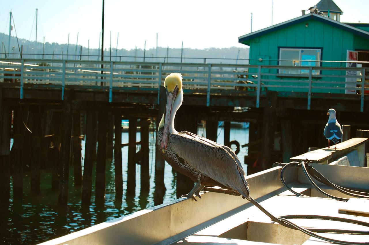 Pelican resting in Monterey