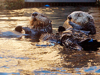 carmel-monterey > Otters chatting in Monterey