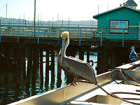carmel-monterey > Pelican resting in Monterey