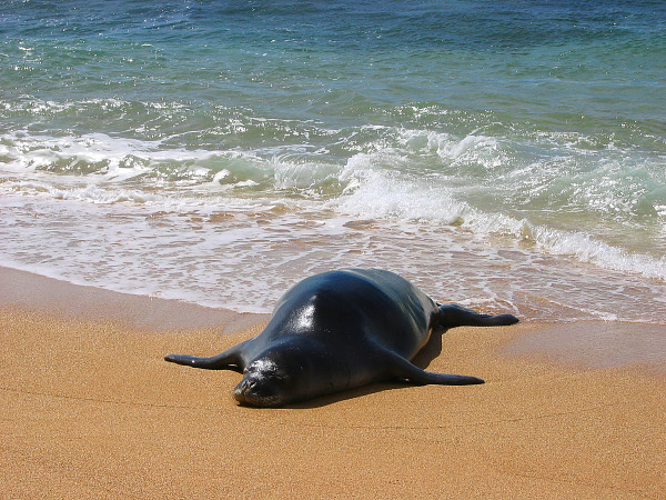 Monk seal swimming out of the water at the beach in Kauai, Hawaii