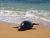 kauai-hawaii > Monk seal swimming out of the water at the beach in Kauai, Hawaii