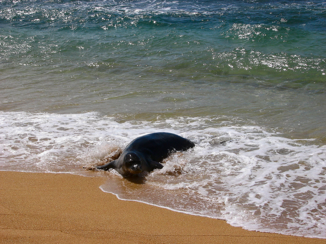 Monk seal fishing on the Hawaii island of Kauai.