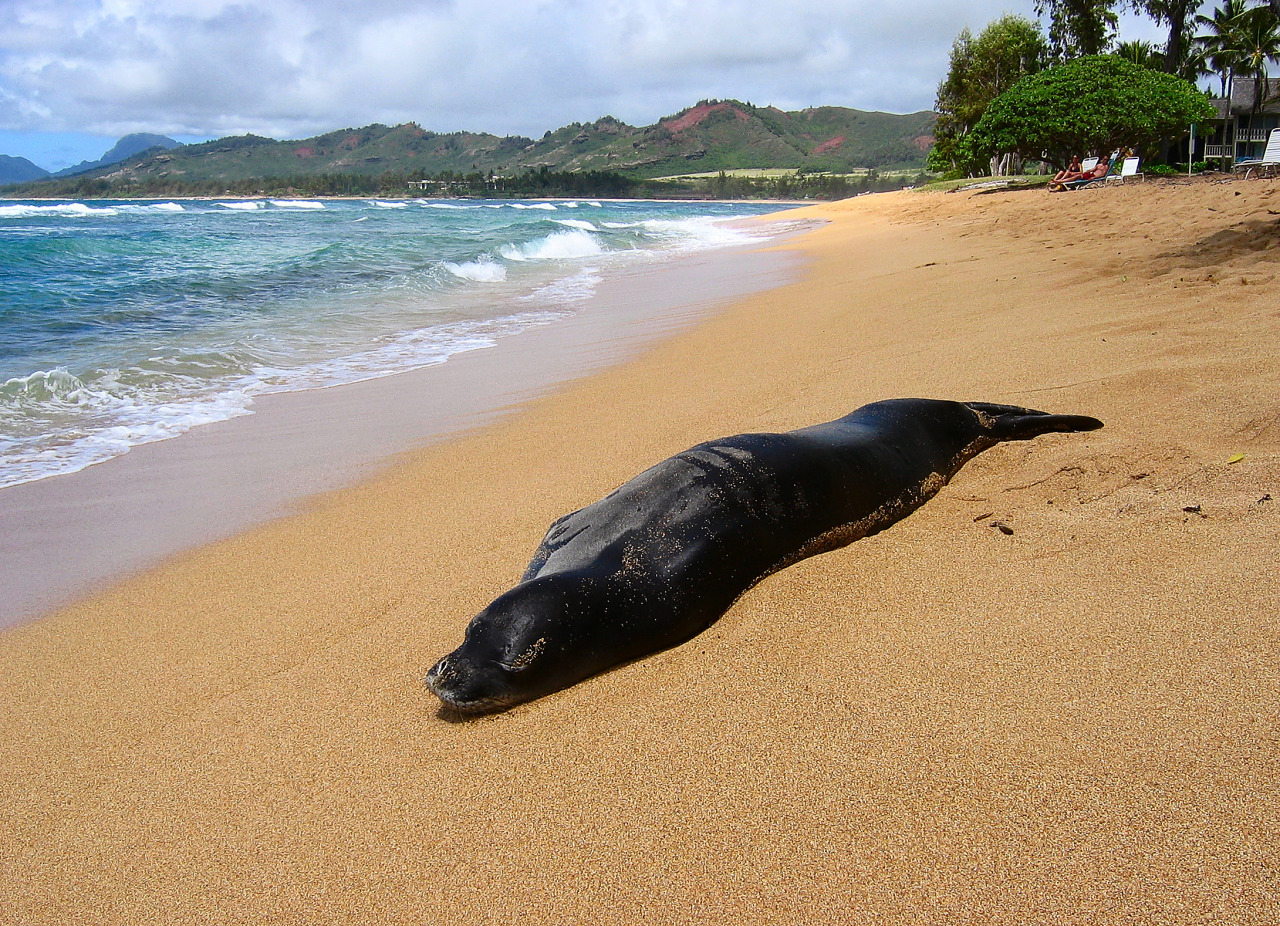 Monk Seal sleeping during the day on the beach of Kauai