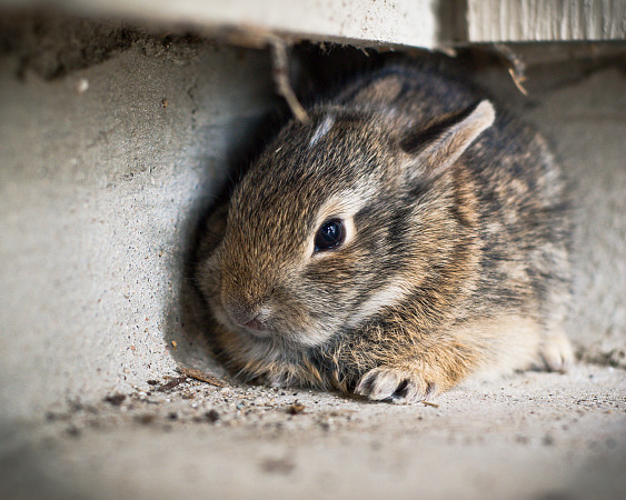 Macro photo of a baby rabbit lost on our patio in Pflugerville