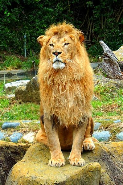 Sitting lion portrait at San Francisco Zoo