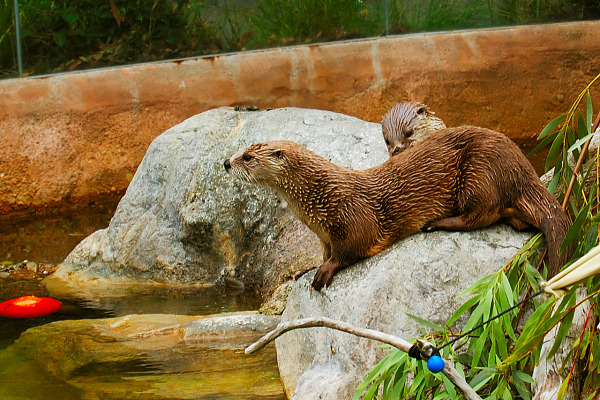 Otters of the San Francisco Zoo