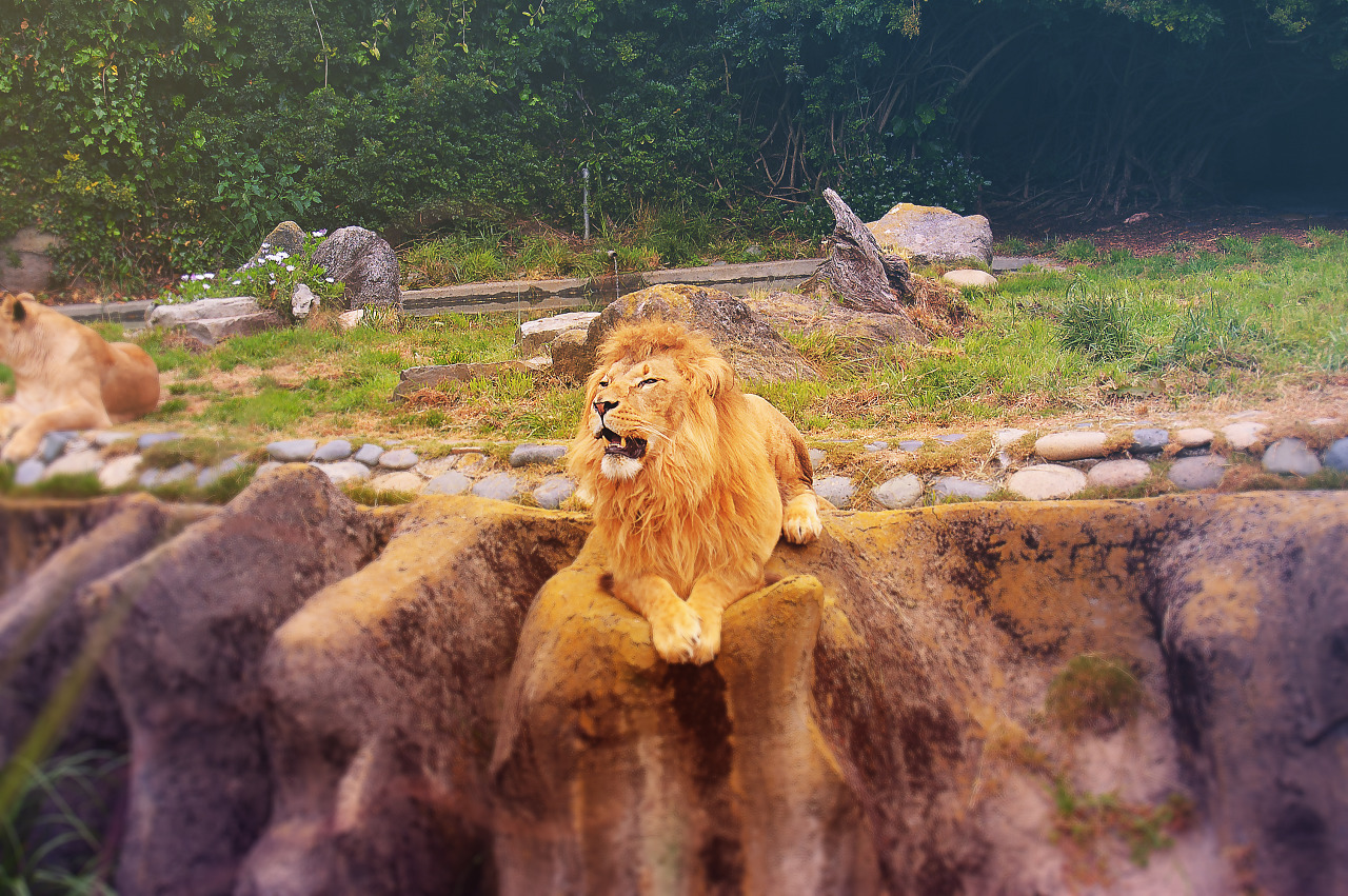 Roaring lion at the San Francisco Zoo