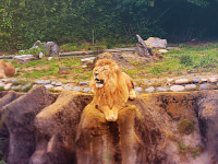 san-francisco > Roaring lion at the San Francisco Zoo