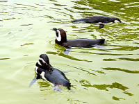 san-francisco > Penguins swimming at the San Francisco Zoo
