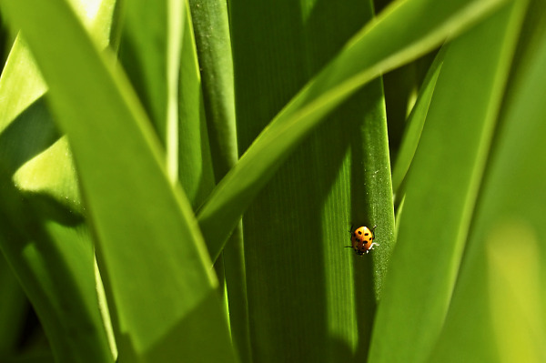 silicon-valley-usa  > Ladybug on a grass blade in Bayland Park