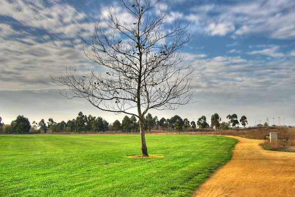 silicon-valley-usa  > Lonely tree in Bayland Park