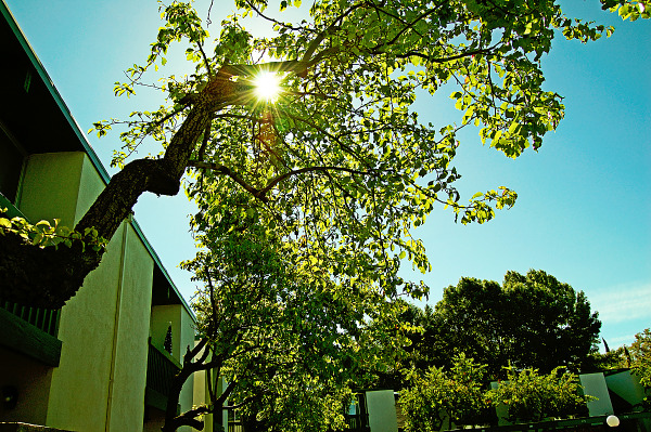 Sun flare through the tree in Sunnyvale