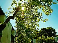 silicon-valley-usa > Sun flare through the tree in Sunnyvale