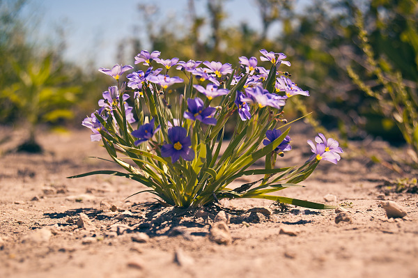 Blue eyed grass in Pflugerville, Texas