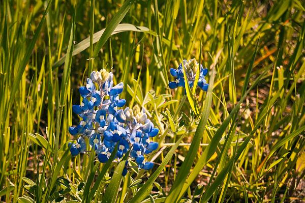 Bluebonnet in grass in Pflugerville, Texas